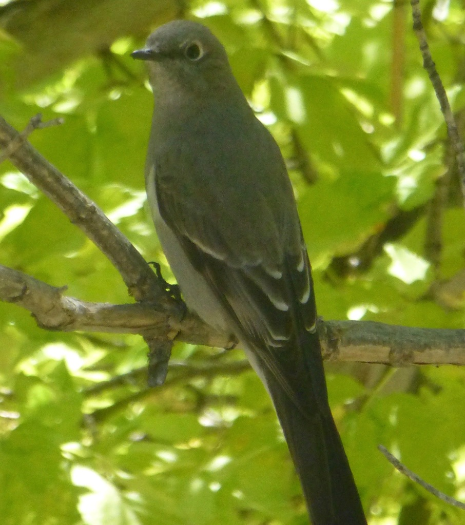 Townsend's solitaire seen at the travertine falls